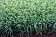 Free Paddy Field Royalty Free Stock Image - 14715306
