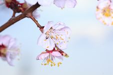 Free Spring Cherry Blossom Royalty Free Stock Photography - 14715847