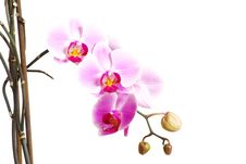 Free Orchid Royalty Free Stock Photo - 14716225