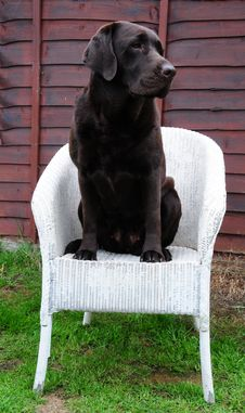 Free Choccie Labrador Royalty Free Stock Images - 14716489