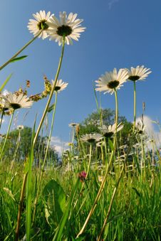 Wild Field With Chamomiles Stock Images