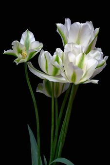 Free Spring Green Tulips Royalty Free Stock Photos - 14717858