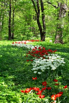 Free Tulip Flower Bed In The Park Stock Photography - 14718102