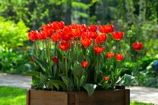 Bright Red Tulips Stock Photos