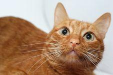 Free Feline Beauty Stock Images - 14718614