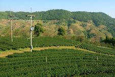 Free Tea Plantation Royalty Free Stock Photo - 14719685