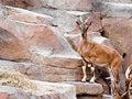 Free Mountain Goat Royalty Free Stock Photo - 14720345