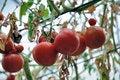 Free Red Tomato Royalty Free Stock Photo - 14722535
