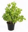 Free Fresh Basil Plant Royalty Free Stock Images - 14727879
