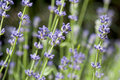 Free Lavender In Bloom Royalty Free Stock Photos - 14728718
