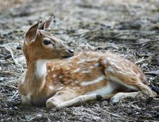 Free Young Dappled Deer Stock Photo - 14720510