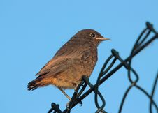 Free A Young Bird (Phoenicurus Ochruros) Stock Image - 14721241