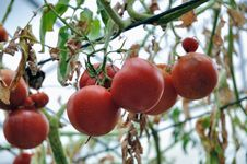 Free Red Tomato Royalty Free Stock Photo - 14722535