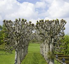 Free Avenue Of Pollarded Trees In Formal Landscape Royalty Free Stock Image - 14722686