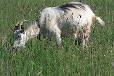Free Goat Stock Image - 14722781