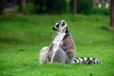 Free Ring-tailed Lemur Stock Photos - 14723033