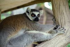 Free Ring-tailed Lemur Royalty Free Stock Images - 14723319