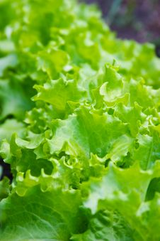 Free Lettuce Background Royalty Free Stock Photography - 14724247