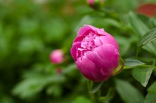Free Pink Flower Of A Peony. Royalty Free Stock Photo - 14724395