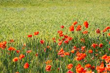 Free Poppy Field Stock Photos - 14724553