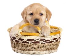 Free Puppy In A Basket. Stock Photos - 14724773