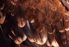 Free Plumage Of A Golden Eagle Royalty Free Stock Photo - 14725255