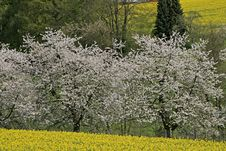 Cherry Tree With Rape Field In Spring, Germany Royalty Free Stock Photography