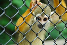 Free Squirrel Monkey Royalty Free Stock Image - 14725286