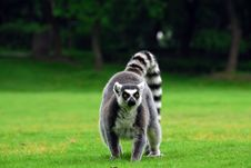 Free Ring-tailed Lemur Stock Photos - 14725303