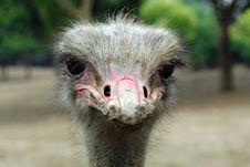 Free Ostrich S Innocent Eyes Royalty Free Stock Image - 14725646