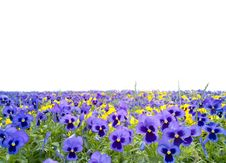 Free Pansy Stock Image - 14725891