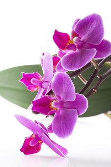 Free Orchid Stock Image - 14727001