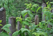 Free Old Wooden Fence With Green Leaves Royalty Free Stock Images - 14728009