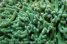 Free Cactus Royalty Free Stock Image - 14728216