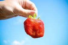 Red Strawberry In The Hand