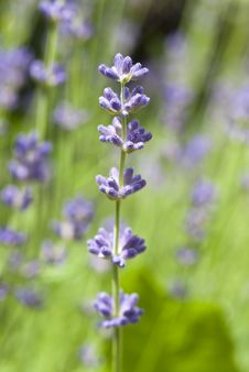 Free Lavender In Bloom Stock Images - 14728724