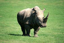 Free White Rhinoceros Royalty Free Stock Photos - 14728818