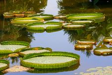 Victoria amazonica Royalty Free Stock Images