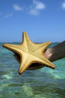 Free Starfish Royalty Free Stock Photos - 14729418