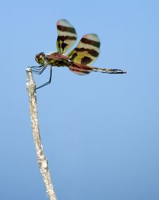 Free Dragonfly On A Twig Stock Photo - 14729450