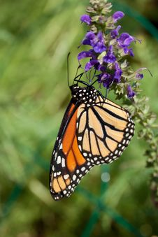Free Monarch Butterfly And Flowers Stock Photography - 14729792