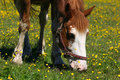 Free Brown Horse Grazing Royalty Free Stock Image - 14730686