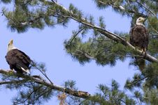 Free Two American Bald Eagles Royalty Free Stock Images - 14730309