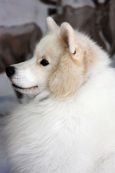 Free White Fluffy Dog Stock Photo - 14730470