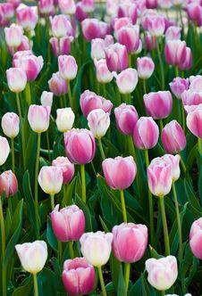 Free Tulip Stock Photos - 14730603