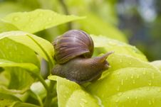 Free Snail Royalty Free Stock Photography - 14731207
