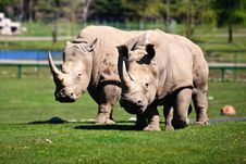 Free Two White Rhinoceros On The Grass Stock Image - 14732471