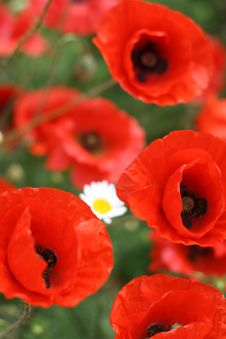Free Poppy Royalty Free Stock Photos - 14732538