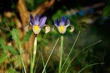 Free Iris Stock Images - 14732784