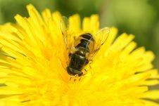 Free The Flower Fly. Royalty Free Stock Photo - 14733045